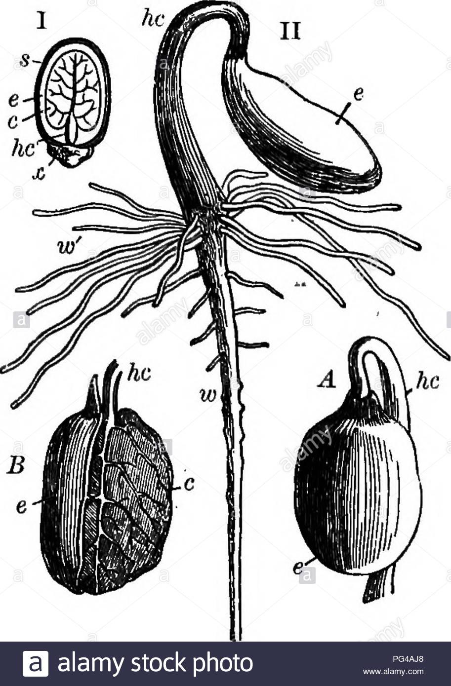 caulicle