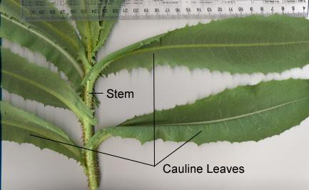 Leaves along the stem (cauline)