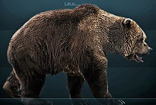 Life restoration. The cave bear