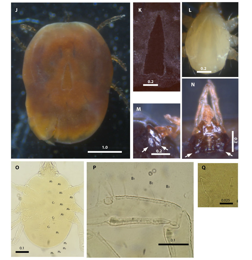 Micrographs of Nothoaspis amazoniensis and Ornithodoros cavernicolous  larvae collected in the present study and paratype of N. amazoniensis (NAVA  et al.,