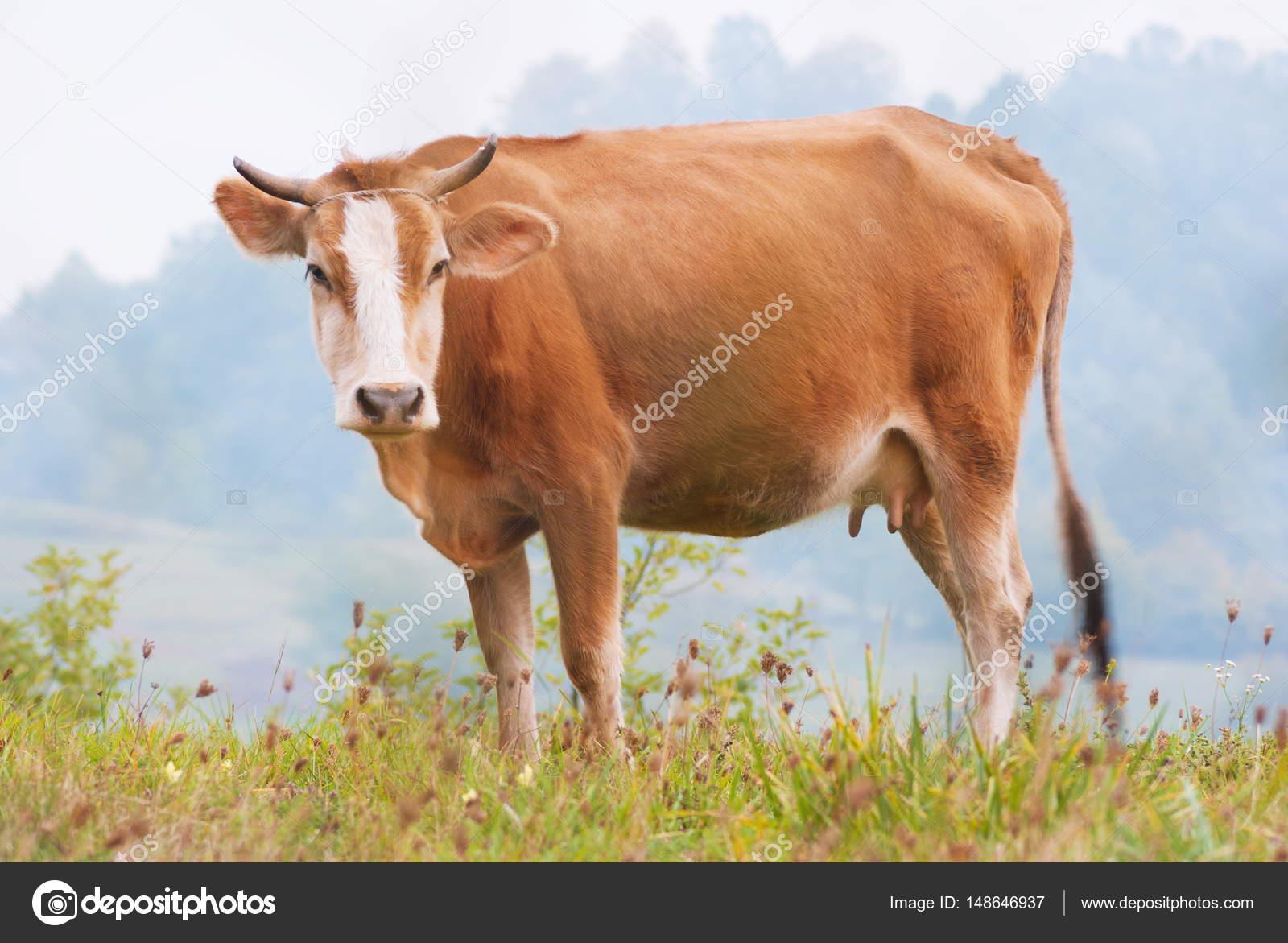 CAW de pastoreo en el campo de hierba verde — Foto de Stock