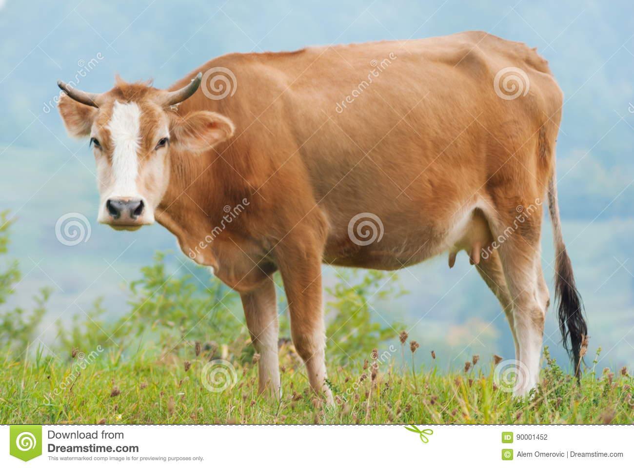 Caw que pasta en el campo de hierba verde