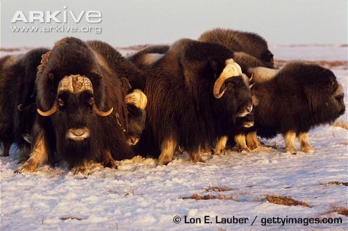 Muskoxen in defensive circle