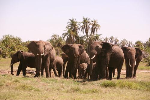 Kilimanjaro elephants form Defensive-Circle