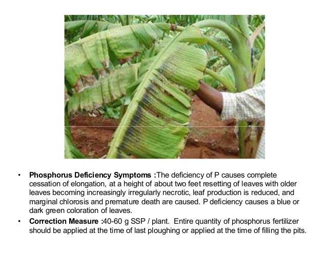 3. • Phosphorus Deficiency Symptoms