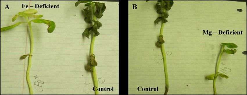Control and mineral nutrition deficient sunflower plants. (A). Fe–deficient  plants with symptoms of leaf chlorosis, necrosis, and reduced plant height