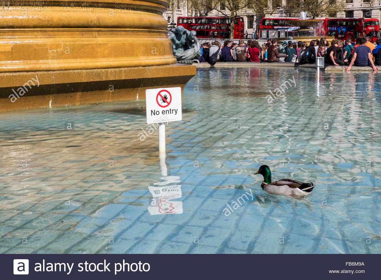 London,Trafalgar Square - duck defies no entry sign in fountain
