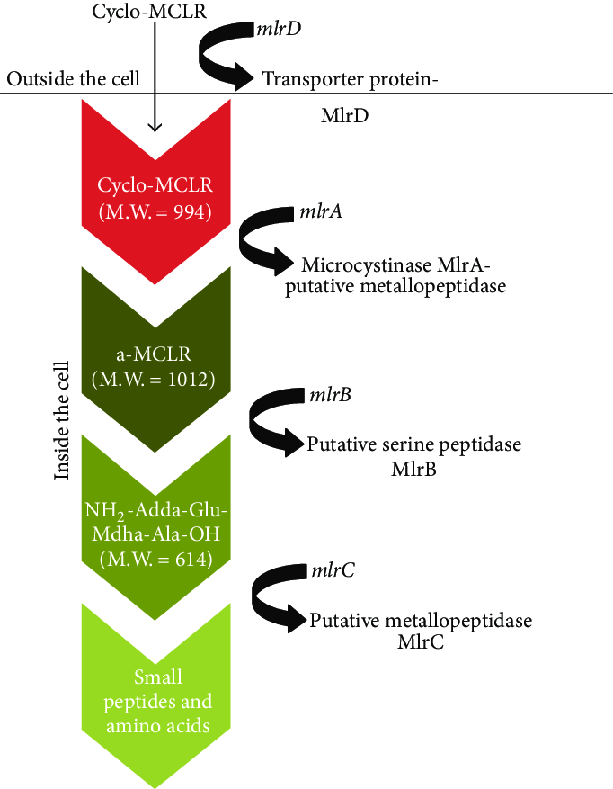 The degradative pathway of microcystin LR and the formation of intermediate  (less toxic) products