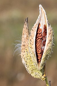 Dehiscence of the follicular fruit of milkweed (Asclepias syriaca)  revealing seeds within