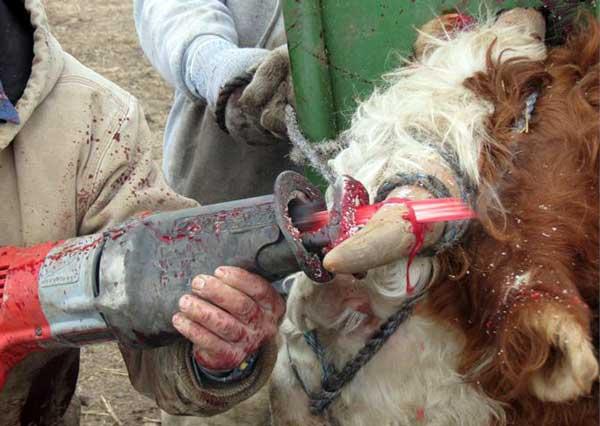 cattle-dehorning