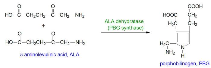 Reaction catalyzed by ALA dehydratase