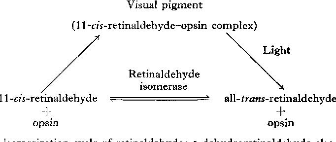 Cis-trans-isomerization cycle of retinaldehyde; 3-dehydroretinaldehyde