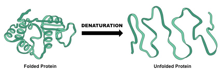 Denaturation of a Protein