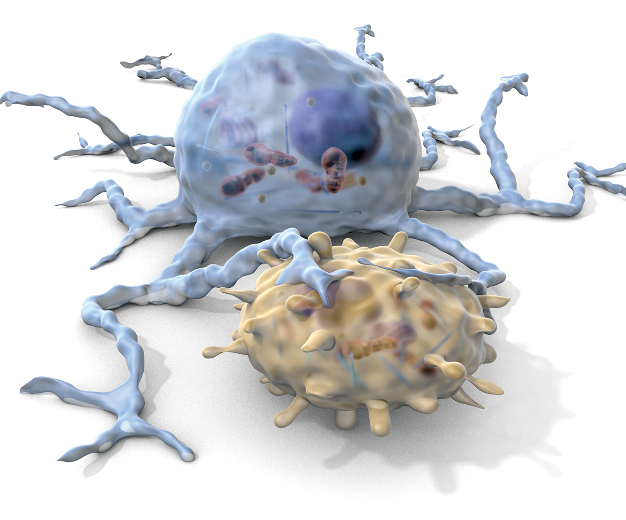 A dendritic cell (blue) engages a T cell (yellow)