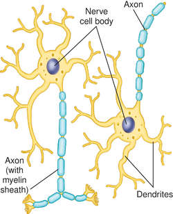 Dendritic process   definition of dendritic process by Medical dictionary