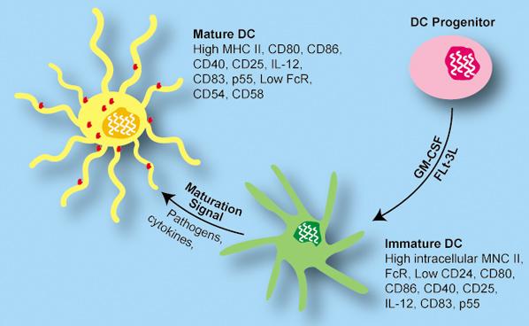 dendritic process
