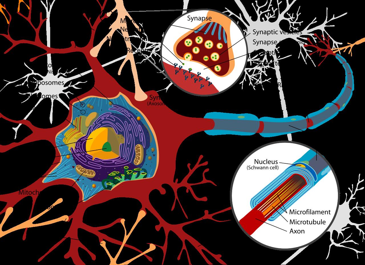 Complete neuron cell diagram en.svg