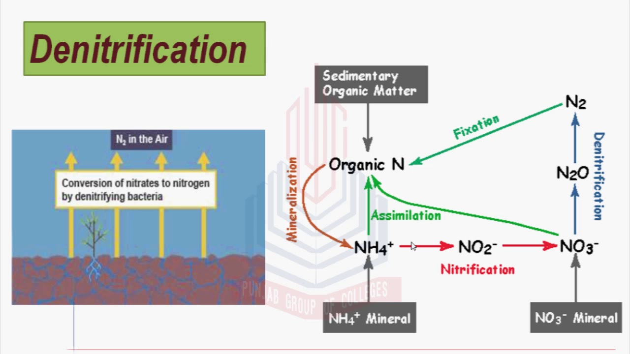 Nitrification , Assimilation , Denitrification & Nitrogen Cycle