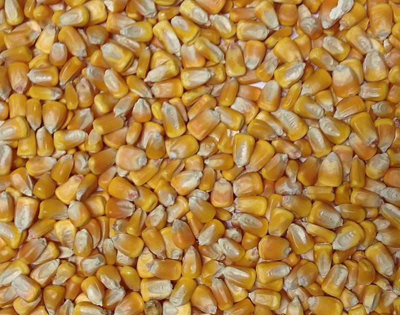 Organic Yellow Dent Corn. ?. $38.05