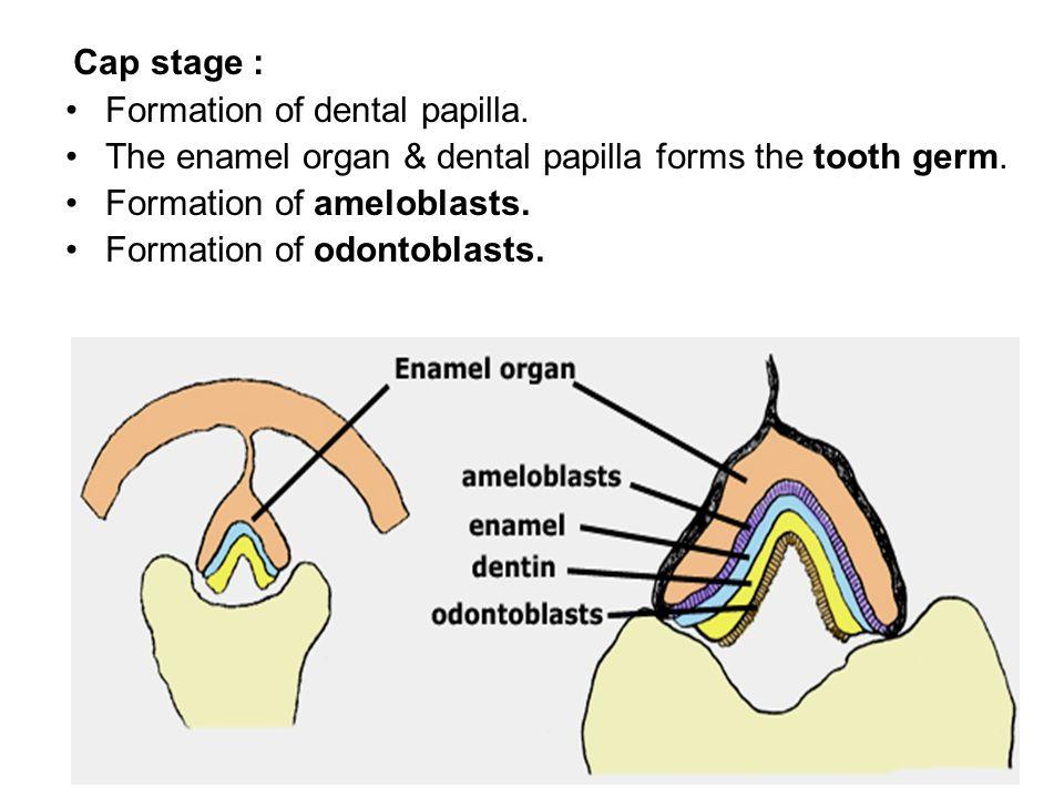 Formation of dental papilla.