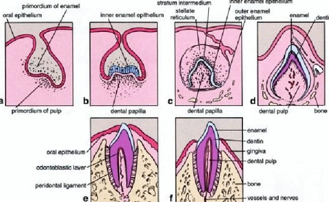 dental lamina