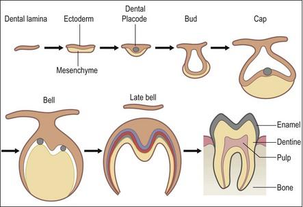Development of Dental Lamina