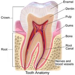 Pulp. Blausen 0863 ToothAnatomy 02.png