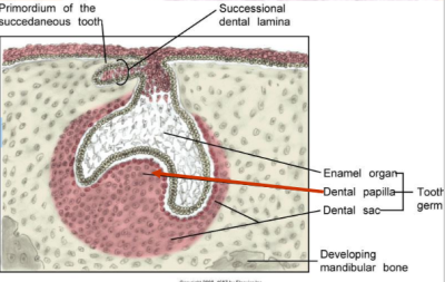 dental papilla