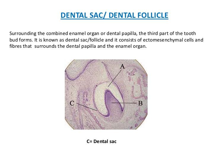 DENTAL SAC/ DENTAL FOLLICLESurrounding