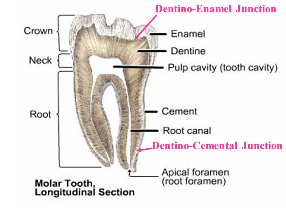 23 Dentino-Enamel Junction