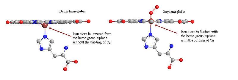 Difference Between Oxyhemoglobin and Deoxyhemoglobin
