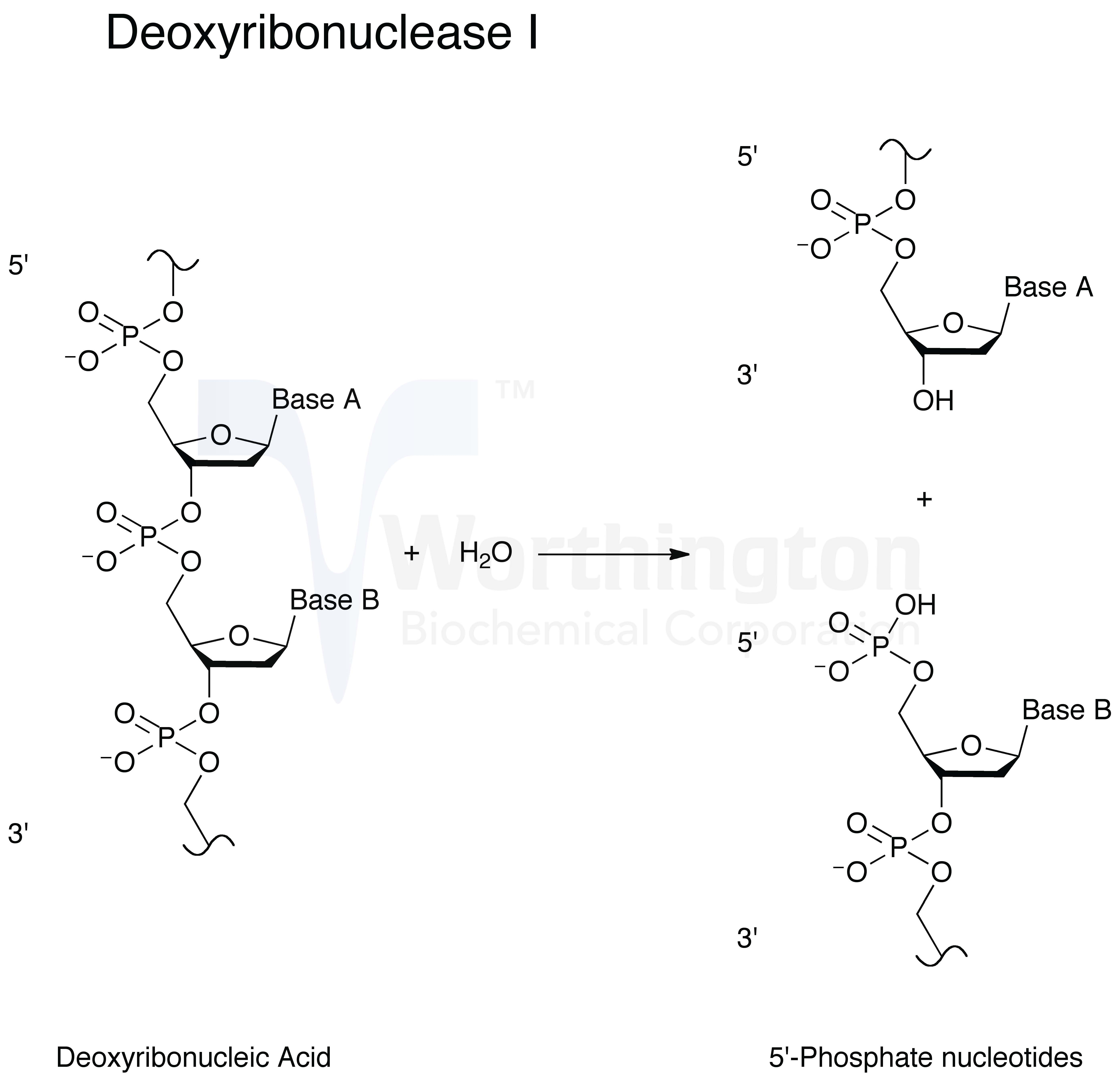 Enzymatic Reaction (image will open in a new window)