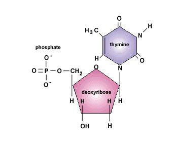deoxyribonucleotide
