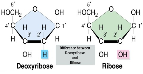 Difference between Deoxyribose and Ribose