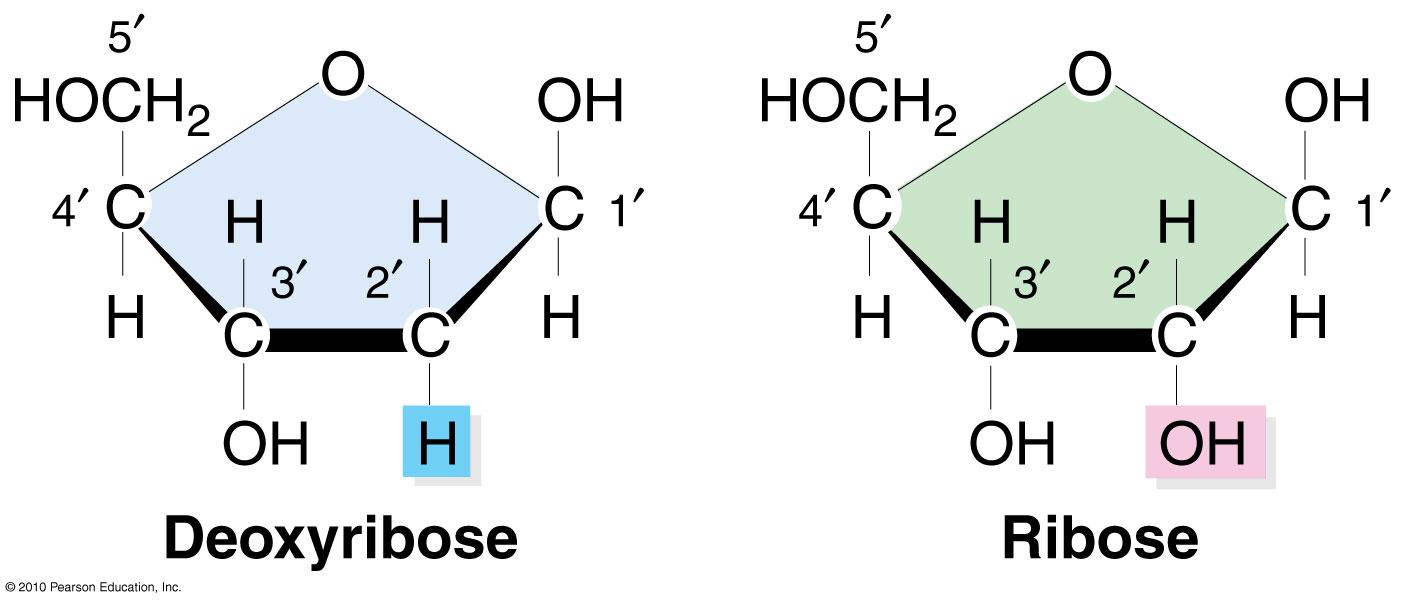 iGen3 02-07. Deoxyribose versus Ribose sugars