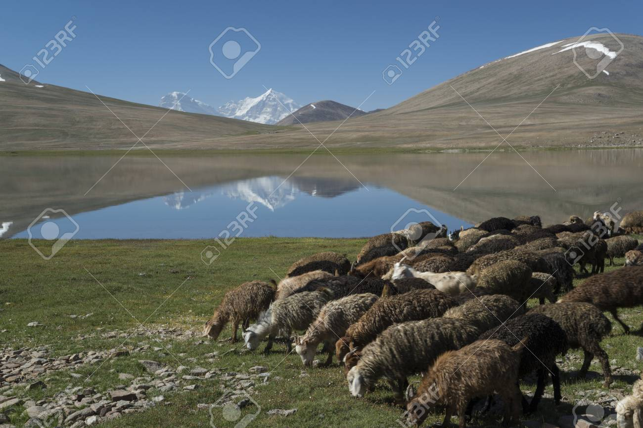 Sheep and goats depasture in high mountains. Sunlit white peaks are  reflected in lake.