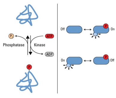 Phosphorylation is a reversible PTM that regulates protein function. Left  panel: Protein kinases mediate phosphorylation at serine, threonine and  tyrosine