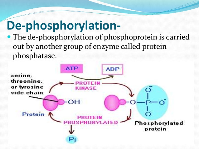 dephosphorylate