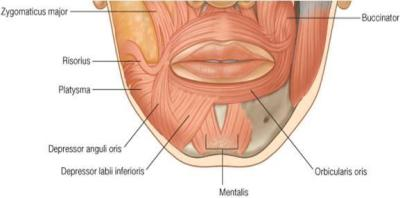 image  facial_muscles_-_depressor_group1317340022061-14B6ADBC7D01B72565F-thumb for  definition side of card