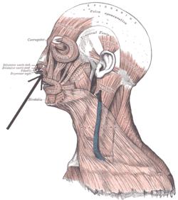 Depressor septi nasi muscle
