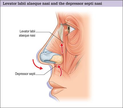 Depressor-septi-nasi