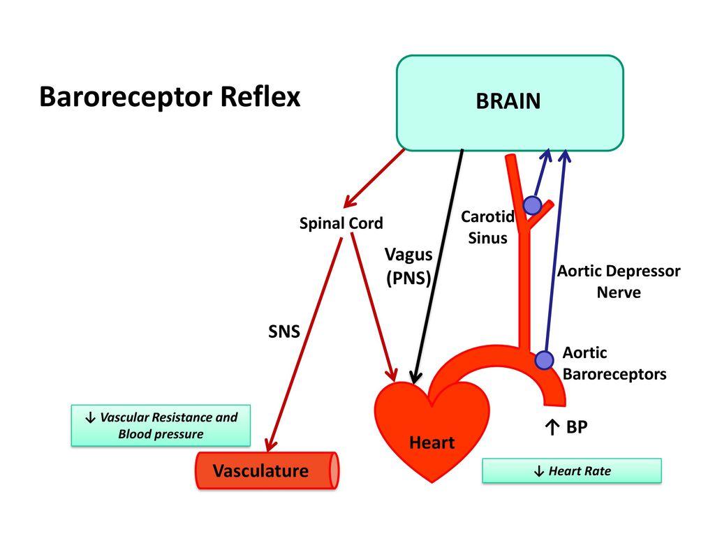 Aortic Depressor Nerve ↓ Vascular Resistance and Blood pressure