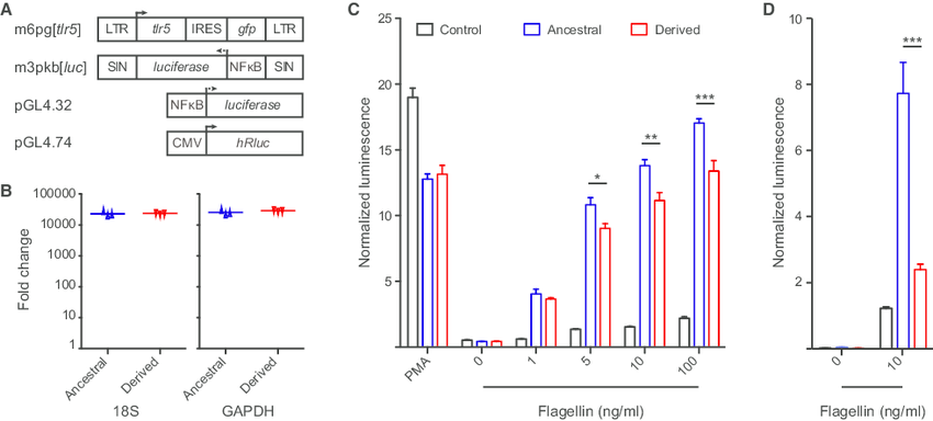 The Derived Form of TLR5 Leads to a Diminished NF-kB Response (A) Structure  of retroviral vectors containing ancestral and derived TLR5 alleles and  plasmid