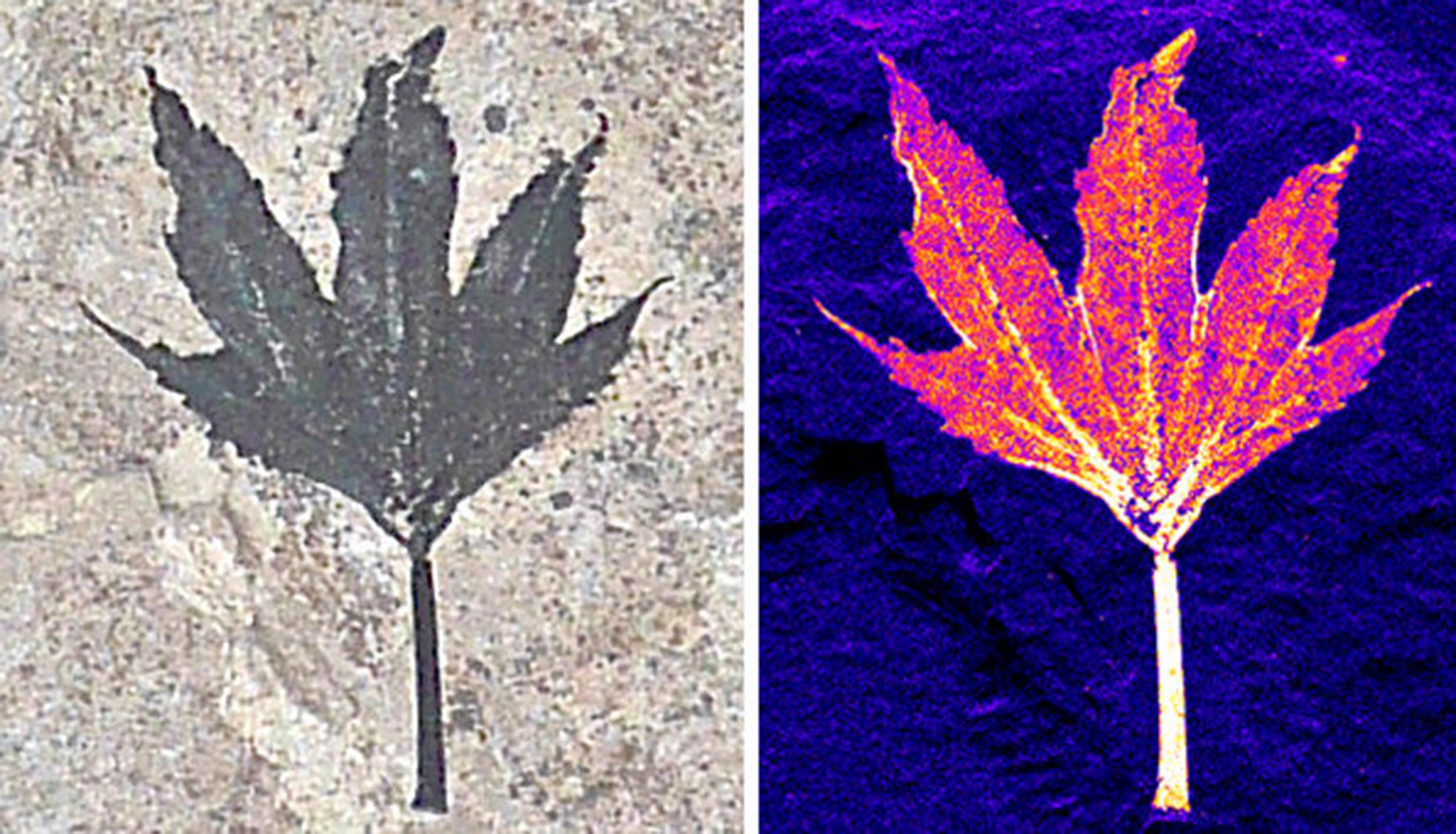 Fossil Leaves Preserve Living Chemistry | SLAC National Accelerator  Laboratory