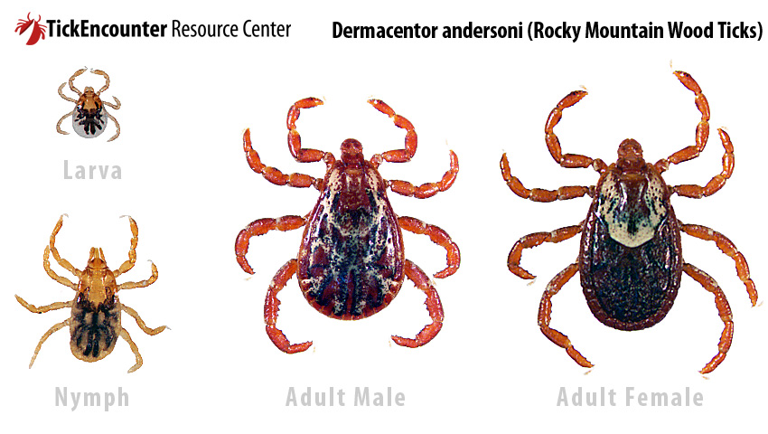 Dermacentor andersoni (Rocky Mountain Wood tick)