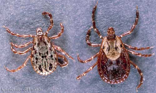 Dorsal view of American dog ticks, Dermacentor variabilis (Say), with male  on
