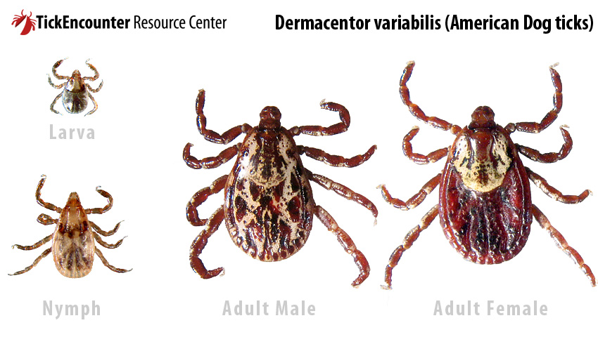 TickEncounter Resource Center > Tick Identification > Dermacentor variabilis  (American Dog tick)