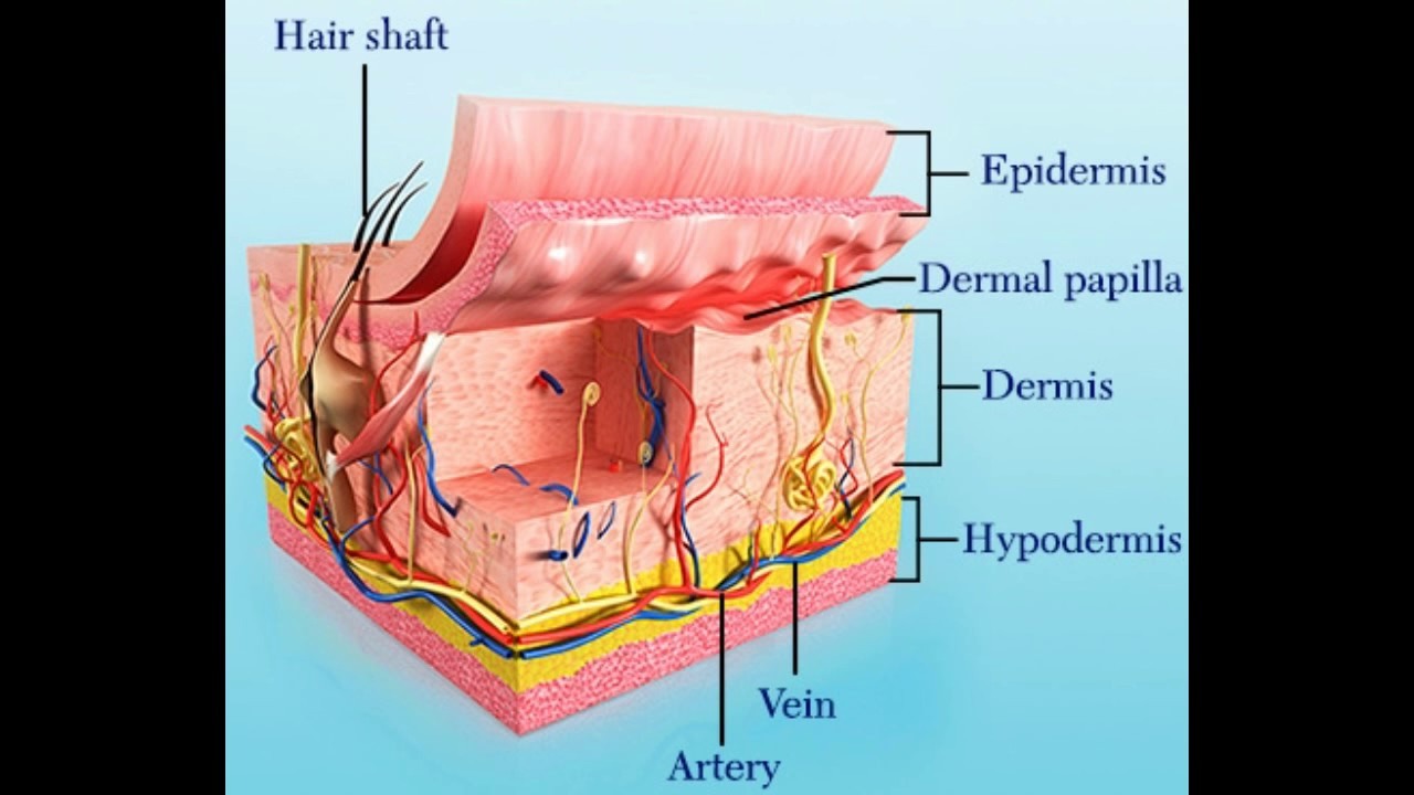 Structure and Function of Dermal Papilla