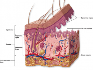Dermis, located under the epidermis is a layer rich with blood vessels.  This part also feeds the epidermis. It also contains different structures  such as