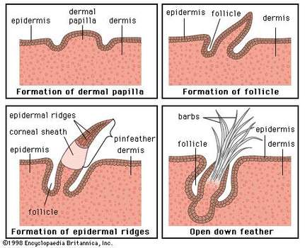 Figure 2: Development of a typical down feather. The epidermal ridges give  rise to